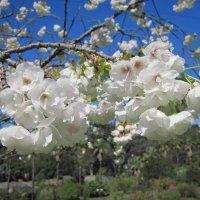 Сочи.Дендрарий.Сакура.Весна,Апрель :: dli1953