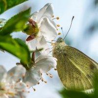 Первые бабочки :: Игорь Геттингер (Igor Hettinger)