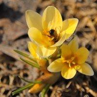 Трудовые будни маленькой пчелы.... :: Tatiana Markova