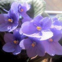 Фиалки радуются весне :: Елена Семигина