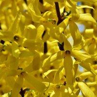 Форзиция: королева апрельского сада... :: backareva.irina Бакарева