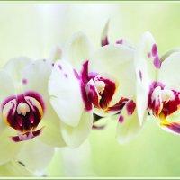 Орхидеи. :: Марина