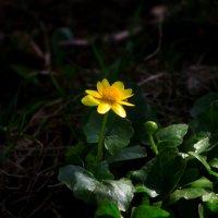 Желтенький  цветочек  Снято  сегодня :: олег свирский