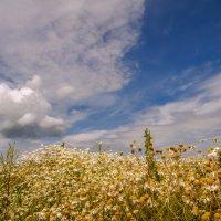 В поле-белые ромашки, а над полем-неба синь :: Наталья Димова