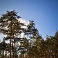 В сосновом лесу :: Алексей (GraAl)