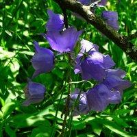 Лесные цветы :: Милешкин Владимир Алексеевич