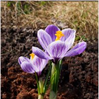Первоцветы: сиреневые крокусы :: Дубовцев Евгений