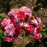 Живой Букет роз :: Виктор