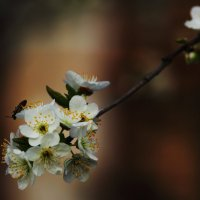 Цветут сады :: Юрий Гайворонский