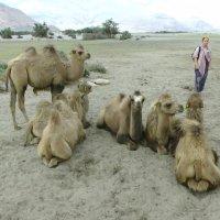 Ладак. Долина Нубра. Катание на верблюдах :: Evgeni Pa
