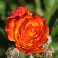 Карликовая роза. :: Vit