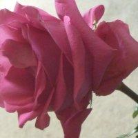 Красная розочка, красная розочка... :: Татьяна Юрасова