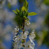 слива особенно красива в цветении :: Роза Бара