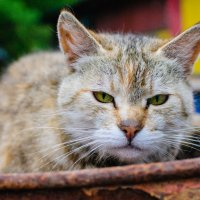 Кошка :: Максим Журба