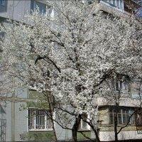 Под моими окнами распушилась алыча... :: Нина Корешкова
