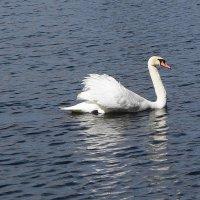 По озеру лебедь белая плывёт :: Маргарита Батырева
