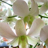Тайские дикие орхидеи :: ИРЭН@ Комарова
