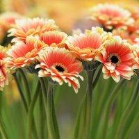 Герберы - солнечные цветы :: Наталья Булыгина (NMK)