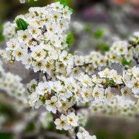 Весна в цвету :: Вячеслав Случившийся