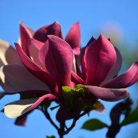 Цветёт магнолия :: Тамара Бедай
