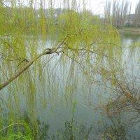 Ива у пруда... :: Тамара (st.tamara)