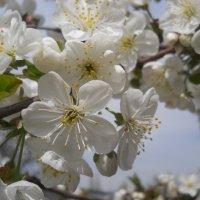 Цвет вишни :: Галина