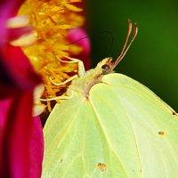 бабочка лимонница :: Александр