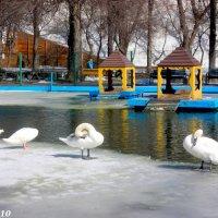 На берегу лебединого озера :: Нина Бутко