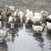 Жили у бабуси сто весёлых гуся :: Светлана Рябова-Шатунова