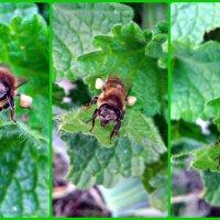 Нектар на лапках у пчелы (Коллаж) :: Татьяна Королёва