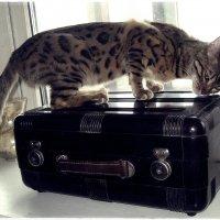 Кто, кто в чемодане живёт? Может быть Кот! :: muh5257