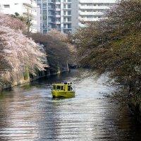 Токио в цветах сакуры :: Tatiana Belyatskaya