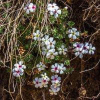 весенние цветы IMG_3052 :: Олег Петрушин