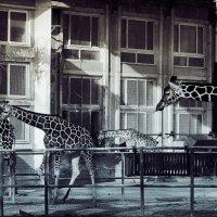 О жирафах :: Mari_L