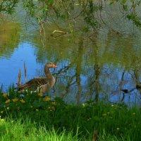 Гусь среди цветов у озера :: Nina Yudicheva