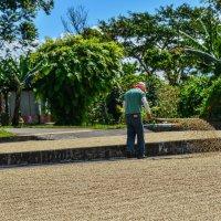 сушка кофейных зёрн на плантации :: Георгий