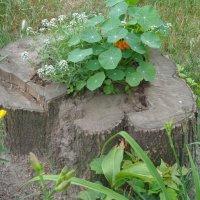 Весной  даже старый пень тянется к солнцу и открывает свою вечнозеленую душу... :: Алекс Аро Аро