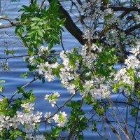 Цветение деревьев набирает силу :: Маргарита Батырева