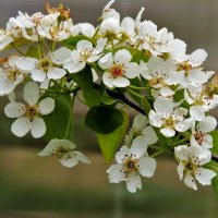 Расцветали яблони и груши... :: Вячеслав Маслов