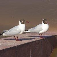 Черноголовые чайки :: Нина Кутина