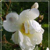 Шиповник после дождя :: lady v.ekaterina