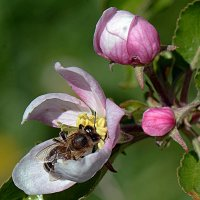 На цветке яблони :: Асылбек Айманов