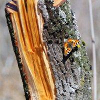 Про бабочек... :: Андрей Заломленков