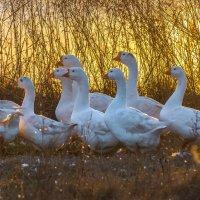 Белые гуси на золотом :: Фёдор. Лашков