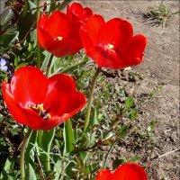 Красные тюльпаны - праздник весны! :: Нина Корешкова