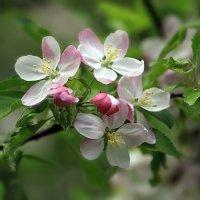 Яблоневый цвет :: Lusi Almaz
