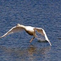 Бегущий по воде :: Alexander Andronik