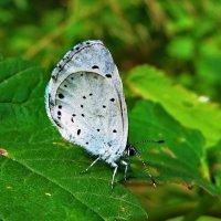 Голубянка крушинная или весенняя :: vodonos241