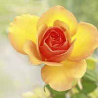 Оранжевая роза (крупно). :: Александр Иванов