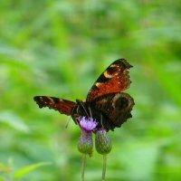 Изнанка бабочки :: Татьяна Лобанова